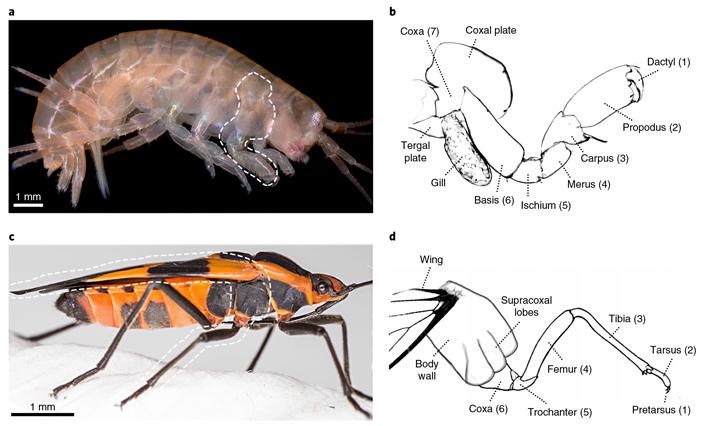 Гипотеза опроисхождении крыльев насекомых от боковых отростков ног ракообразных проверена набокоплавах-мутантах