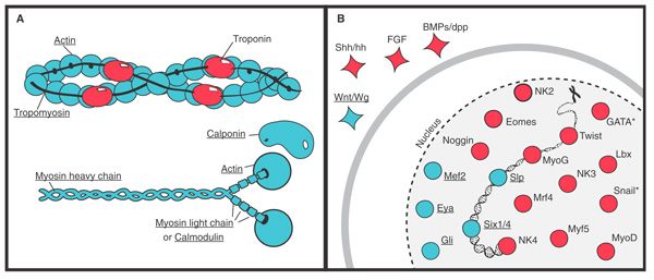 Мезодермальные белки гребневиков и других животных