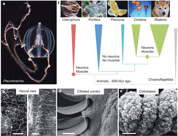 Рис. 2. Положение гребневиков (Ctenophora) на эволюционном дереве животных и их важнейшие эволюционные инновации