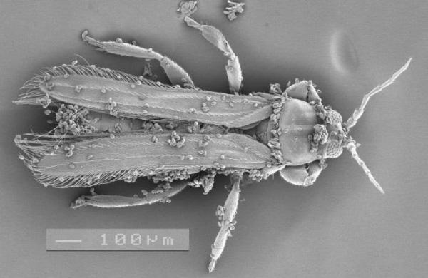 Трипс Cycadothrips chadwicki сприлипшей к нему пыльцой саговника (©Desley Tree). Фото из пресс-релиза Университета Юты