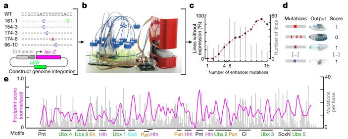 Высокая плотность информации врегуляторных участках ДНК может ограничивать эволюционную свободу