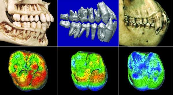 Зубы человека (слева), ардипитека (вцентре) и шимпанзе (справа). Все особи— самцы. Внизу: первый моляр; цвет отражает толщину эмали: красный— толстая эмаль (около 2мм), синий— тонкая (около 0,5мм). Изображение из статьи Suwa etal. Paleobiological Implications of the Ardipithecus ramidus Dentition