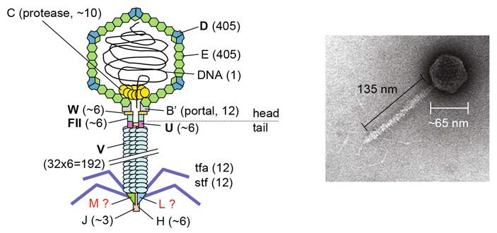 Рис. 1. Схема строения и общий вид фага лямбда
