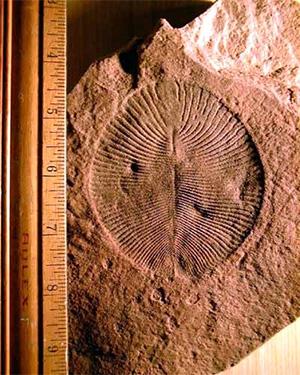 Рис. 1. Отпечаток Dickinsonia Sprigg, 1947— типичного представителя вендобионтов из красноцветных песчаников эдиакарской пачки в Южной Австралии