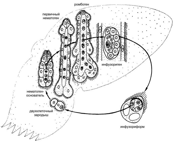 Ортонектиды и дициемиды: единая группа или альтернативные пути упрощения?