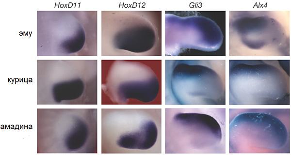 Рис. 4. Экспрессия «задних» (Hoxd11, Hoxd12) и «передних» (Gli3, Alx4) генов конечности взачатках крыльев птиц