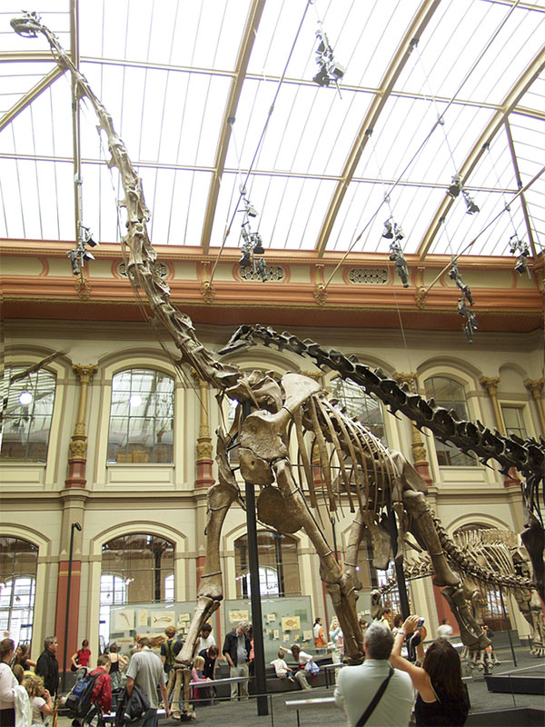 Скелет одного из самых высоких динозавров— брахиозавра Brachiosaurus brancai (снедавнего времени относимого к особому роду Giraffatitan) в Берлинском музее естественной истории. Зубы этих динозавров также были подвергнуты исследованию на изотопный состав для выяснения температуры тела. С сайта es.wikipedia.org