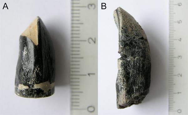 Фотографии двух зубов динозавров, использованных для определения температуры тела. Слева(A)— Brachiosaurus brancai, справа(B) Camarasaurussp. Шкала линейки— сантиметры. Рис. из дополнительных материалов к статье: Eagle R.A. etal., 2010