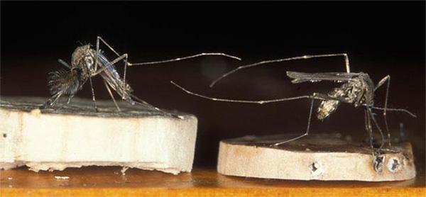 Паук-вампир отличает комариных самок от самцов по брюшку и усам Discerning_predator_1_600