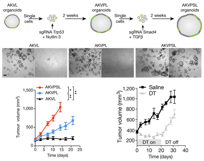 Рис. 2. Введение мутаций в органоиды с помощью технологии CRISPR/Cas