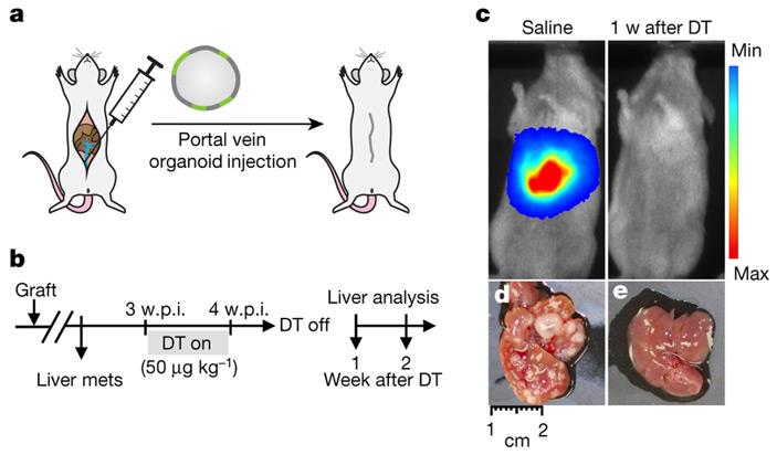 Рис. 3. Инъекция органоидов в портальную вену мыши с целью вызвать образование метастазов в печени без формирования первичной опухоли
