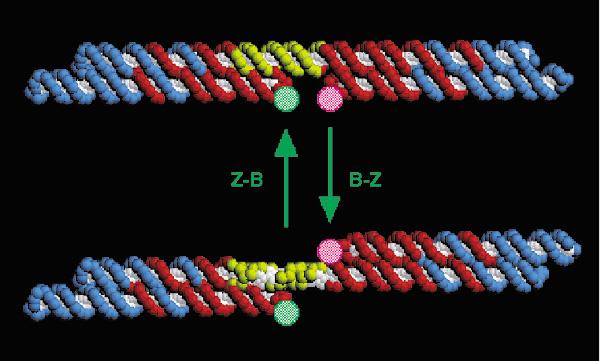 Рис.3. Модель ДНК-мотора и переход ДНК из В-формы (вверху) в Z-форму (внизу) и обратно