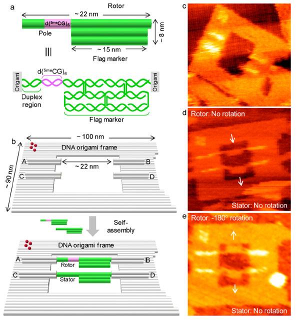 Рис.4. Схема устройства ротора врамке, атакже микрофотографии собранных механизмов, полученные методом высокоскоростной атомной силовой микроскопии