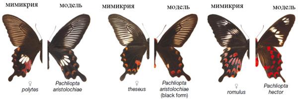 Рис.2. Формы самок Papilio polytes (слева) и их модели для подражания (справа)
