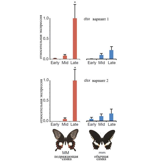 Рис.3. Экспрессия генаdsx у мимикрирующих самок polytes(ММ) и уобычных самок cyrus (mm) на разных стадиях развития куколки