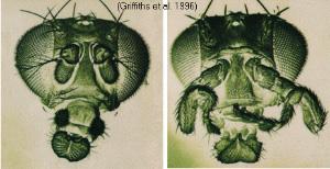 Знаменитая дрозофила с ногами вместо антенн (справа); слева— нормальная дрозофила (фото с сайта www.mun.ca)