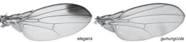 "Игра ""желания""))) - Страница 38 Drosophila_elegans_&_gunungcola"