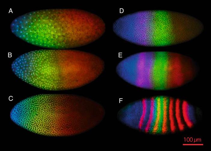 Области экспрессии генов gap и pair-rule на разных стадиях развития эмбриона дрозофилы