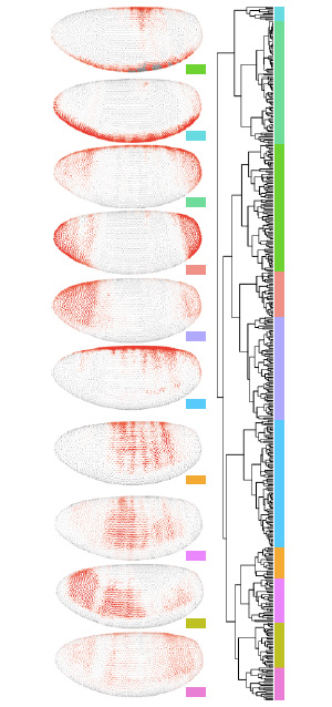 Рис. 3. Дендрограмма сходства паттернов экспрессии генов и десять усредненных «архетипических» паттернов