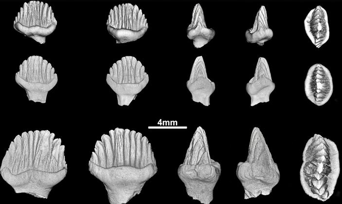 Рис. 4. Новые, толком не использованные зубы раннемеловых стегозавров