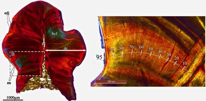 Рис. 6. Гистологический срез зуба раннемелового стегозавра