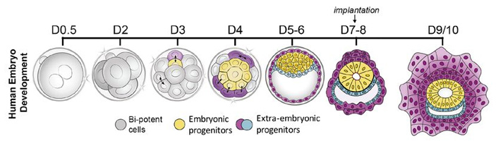 Рис. 4. Раннее развитие человека