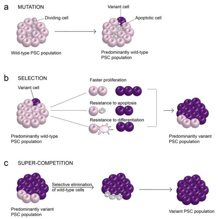 Рис. 6. Конкуренция в культуре плюрипотентных клеток
