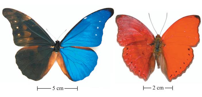 Рис. 1. Morpho rhetenor и Cymothoe sangaris