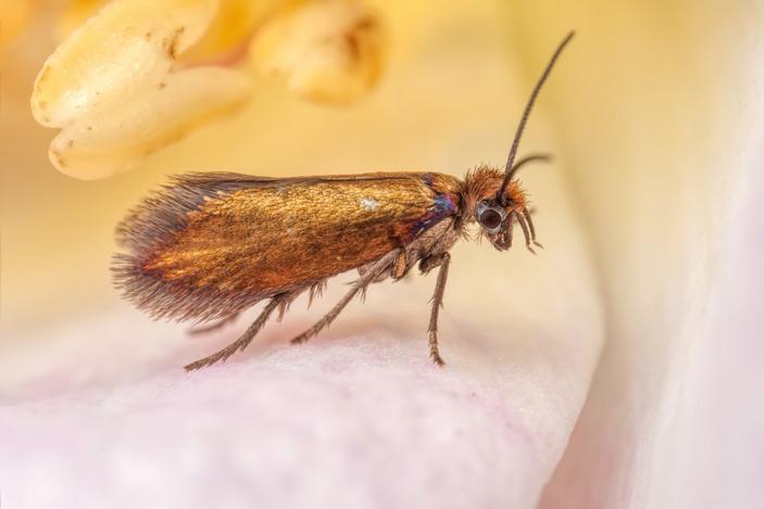 Рис. 4. Зубатая моль Micropterix calthella