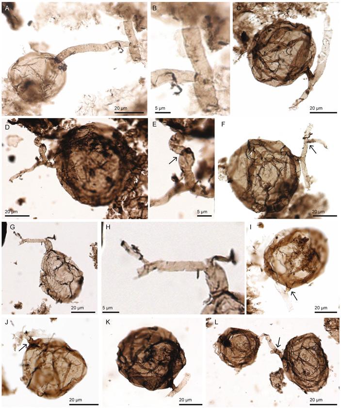 Рис. 3. Древнейший известный гриб Ourasphaira giraldae