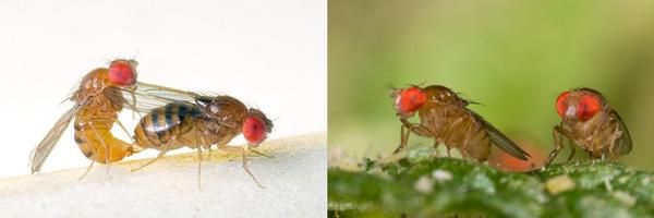 Рис. 1. Слева— Drosophila serrata, вид, приспособленный к засушливым условиям; справа— Drosophila birchii, близкородственный вид, обитающий только во влажных тропических лесах