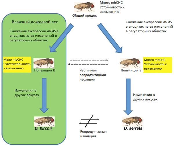 Рис.3. Схема, показывающая роль «волшебного признака» в дивергенции видов D.serrata и D.birchii