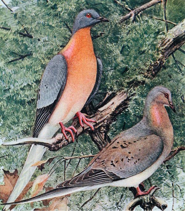 Пара странствующих голубей
