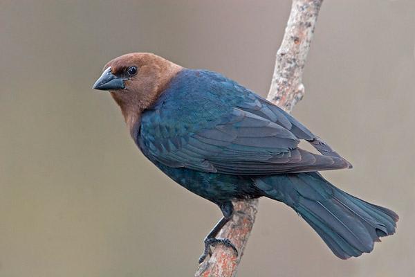 Птицы умеют распознавать подброшенные яйца по оттенкам  Рис 1 Буроголовый воловий трупиал molothrus ater