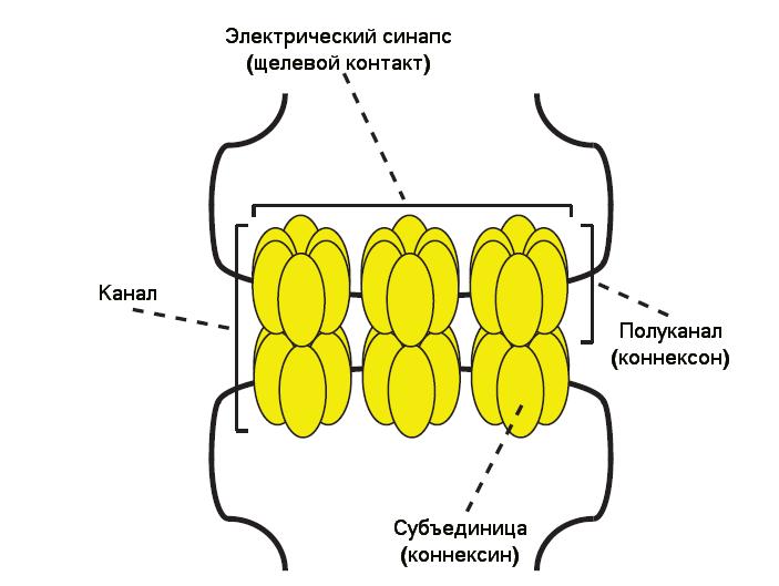 <b>Рис.4.</b> Схема электрического синапса