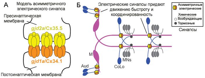 <b>Рис.1.</b> <b>А</b>— модель асимметричного электрического синапса рыбы <i>Danio rerio</i> с указанием генов и белков, свойственных пре- и постсинаптическим клеткам. <b>Б</b>— система с маутнеровскими нейронами (Mauthner circuit).