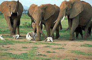 http://elementy.ru/images/news/elephant_scull_300.jpg