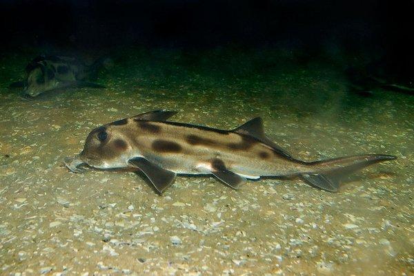 Рис.1. Химера Callorhinchus milii, живущая вокеане уюжного побережья Австралии