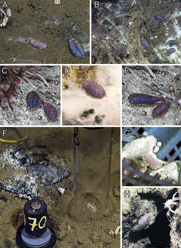 Молекулярный анализ помог определить место элвисовых червей среди полиноид