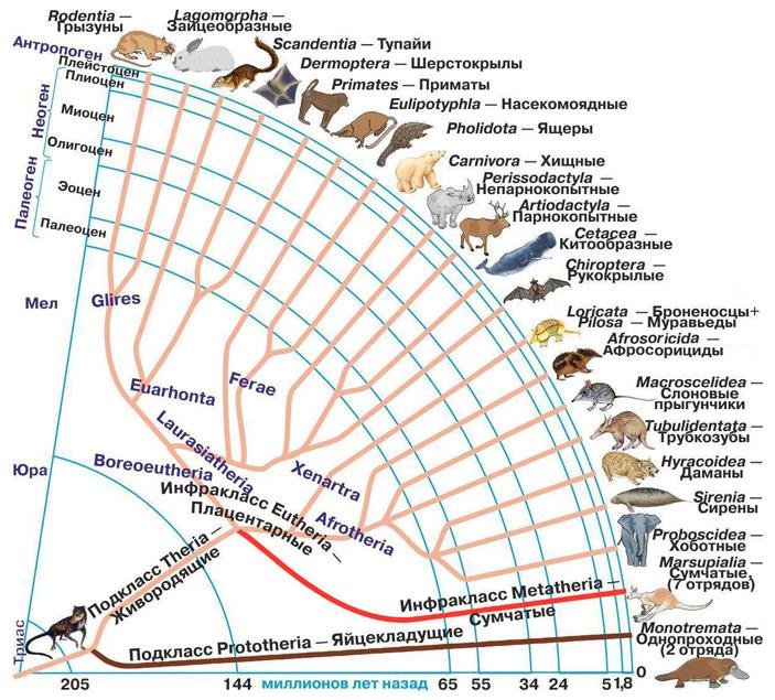 Рис. 2. Эволюционное древо млекопитающих