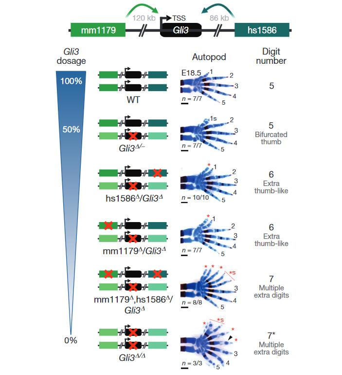Рис. 2. Лапы мышей с разными комбинациями испорченных и рабочих копий гена Gli3 и двух его энхансеров (mm1179 иhs1586)