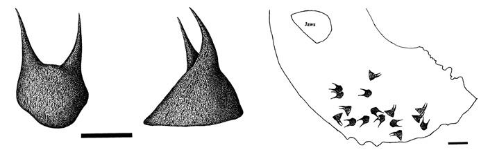 Были ли уаммонитов крючья на щупальцах?