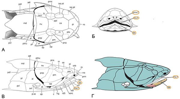 Рис. 3. Покровный скелет Entelognathus primordialis