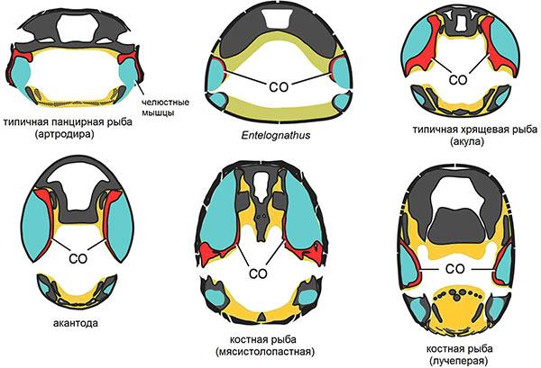Рис. 4. Расположение челюстной мускулатуры урыб