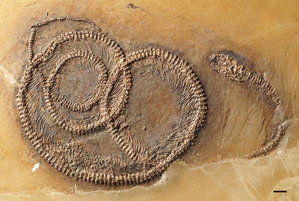 Змея Palaeopython fischeri с ящерицей в желудке