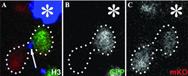 Асимметричное распределение старых и новых молекул гистона H3 в двух клетках, образовавшихся в результате деления стволовой клетки GSC
