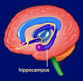 http://elementy.ru/images/news/episodic_memory_hippocampus_281.jpg