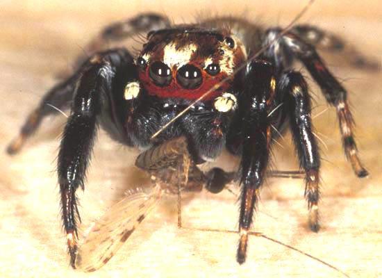 Паук-вампир отличает комариных самок от самцов по брюшку и усам Evarcha_culicivora_550