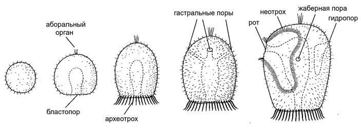 Общее происхождение трохофор идиплеврул: заипротив