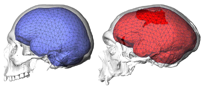 evolution_of_modern_human_brain_shape_fi